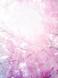桜花の幻想