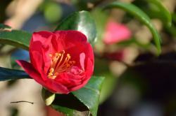 雪原に咲く椿